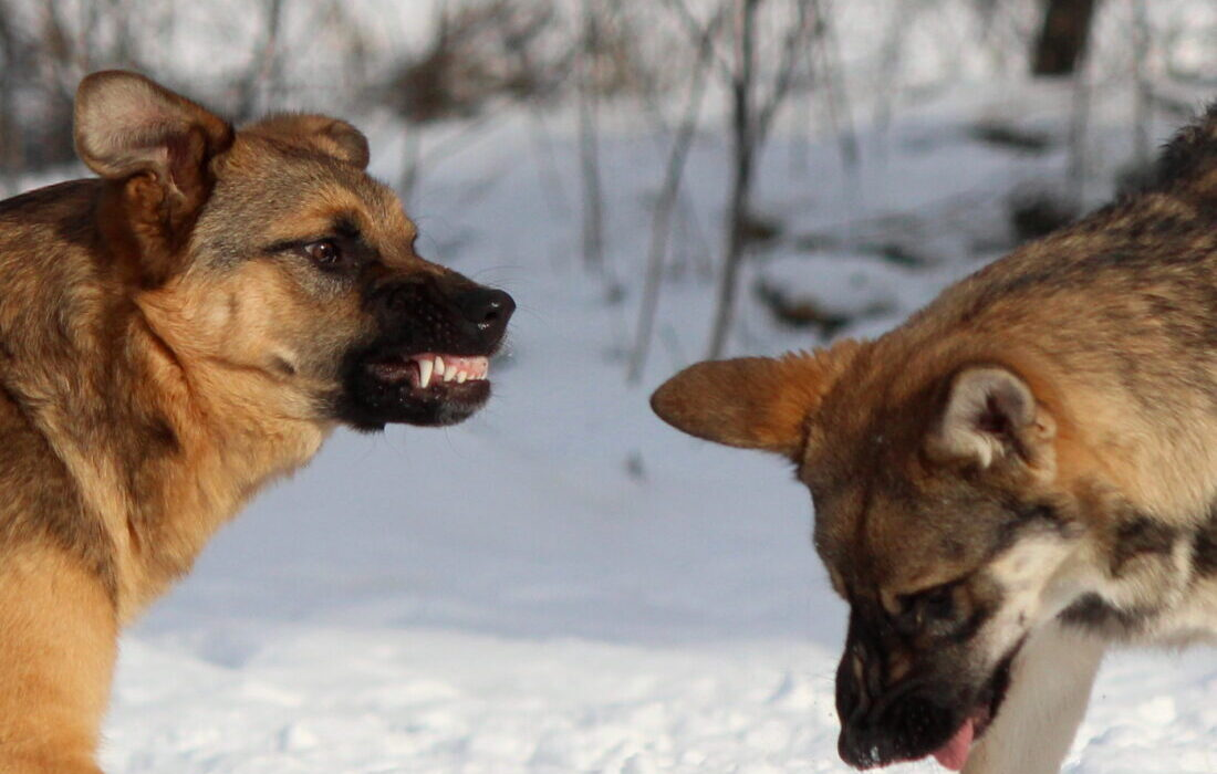 Hund knurrt andere Hunde an