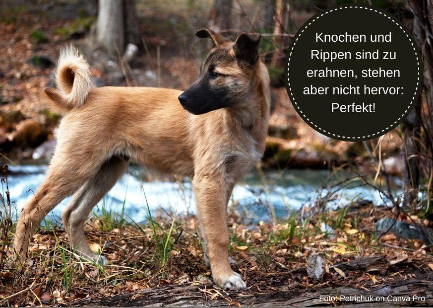 Wieviel Futter braucht ein Labrador Welpe